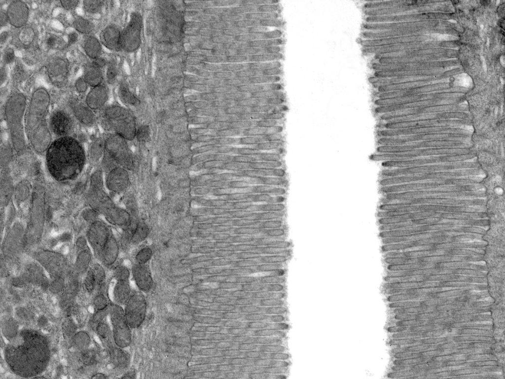 microvellosidades del epitelio intestinal de ratón